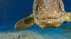 coelacanth - a face only a mother could love
