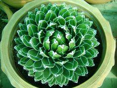 The beautiful leaf pattern of the Agave victoria reginae.