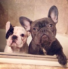 Bath Day for Manny and Frank, French Bulldog Bro's ❤️