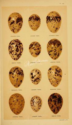 birds_parts_eggs-03313 - 220 Eggs, Birds, Digital, Ethnic Recipes, Food, Meal, Egg, Bird, Essen