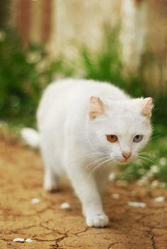 Odd-eye white cat