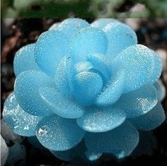 Flower pots planters 100 Seeds Blue witchford seed Lithops Pseudotruncatella seed Perennial for Home Stone Flowers