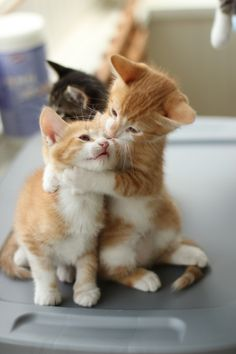 Ginger cats love......