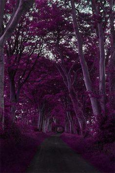 FAKE not a Purple Forest in  Scotland?  Photoshopped Jacaranda Tree Tunnel, Sydney, Australia