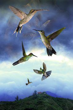 Further up the coast, large Hummingbirds practice synchronized flight. Photilation- L. @photilator