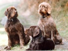 German Wirehaired Pointer / Deutscher Drahthaariger Vorstehhund #hunting #Gundog #Puppy #Dog