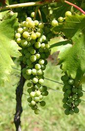 Tamburlaine -- Organic Wines, Hunter Valley