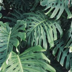 A Customer's Guide To Herbal Dietary Supplements On The Net Monstera Leaves Smitten Studio Tropical Garden, Tropical Plants, Tropical Leaves, Tropical Forest, Fotografia Macro, Plants Are Friends, 3d Prints, Green Plants, Go Green