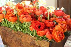 Jardiniere of Ranunculus Orange Flowers, My Flower, Beautiful Flowers, Prettiest Flowers, Gorgeous Gorgeous, Fresh Flowers, Spring Flowers, Bouquet Champetre, Ranunculus Flowers