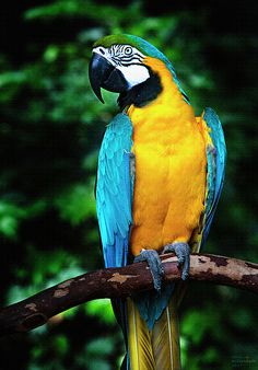 The Rainforest Animals Facts-Rainforest animals and plants picture and food chain here Pretty Birds, Beautiful Birds, Animals Beautiful, Cute Animals, Exotic Birds, Tropical Birds, Colorful Birds, Tropical Animals, Blue Gold Macaw