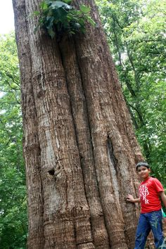 One of the world's largest teak trees, the Kannimara Teak, can be visited in Parambikulam Wildlife Sanctuary in Kerala.