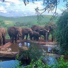 Incredible Thanda Safari #thanda #thandasafari #elephant #elephants #africa #nature Elephants, Safari, Africa, The Incredibles, Nature, Animals, Photos, Animaux, Elephant