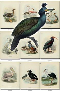 BIRDS-61 Collection of 91 vintage pictures Shag Falcon Hobby Duck Goose Buzzard Kestrel Heron digital download printable 300 dpi animals           data-share-from=listing        >           <span class=etsy-icon