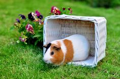 If you love small furry animals, guinea pigs might be for you.