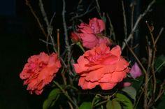 'Roses..Roses..Roses'