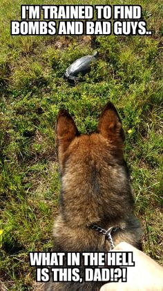 German shepherd dogs - Top 10 Funny Video Funny Cats & Dogs 2016 Replay 100 Times You Will Still Laugh 6 Funny Animal Jokes, Funny Dog Memes, Cute Funny Animals, Funny Animal Pictures, Cute Baby Animals, Funny Dogs, Cute Dogs, Animals Dog, Military Working Dogs