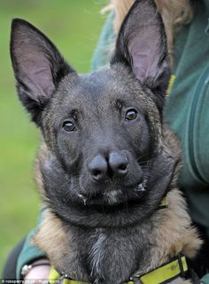 blue bay german shepherd - Google Search