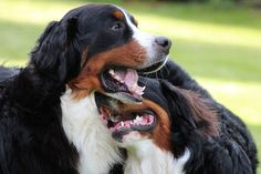 That was a really good joke! Online Pet Supplies, Dog Supplies, Really Good Jokes, Bernese Dog, Pet Shop Online, Dog Accessories, Big Dogs, Amazing Dogs, Funny