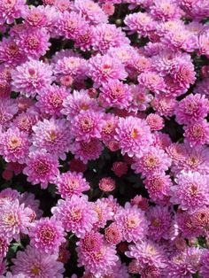 These large colourful Garden Mum Chrysanthemums form large attractive balls of colour and are ideal for providing a vibrant burst of extra flower power in Summer and in to the Autumn.