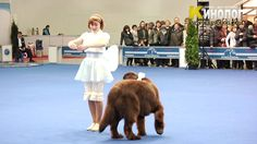 """Newf Freestyle Dancing at Dog Show """"Eurasia 2012 / Russia / Moscow"""". Funny Animals, Cute Animals, Huge Dogs, Large Dog Breeds, Dog Show, Dog Behavior, Beautiful Dogs, Dog Love, Your Dog"""