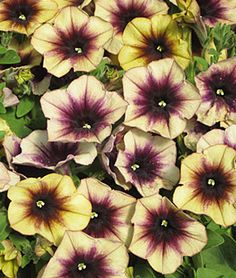Petunia, Cascadia Autumn Mystery - Petunias at Burpee.com