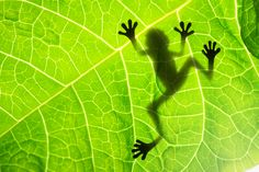 Nice pic, can it jump? Do you think the form given to alien little green men came from this sort of frog?