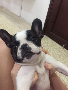Otto de mas o menos 3 meses  Bulldog frances