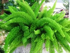 <3 this guy! Foxtail Fern.