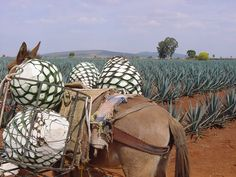 Tequila: Everything you wanted to know about Mexico's national ...