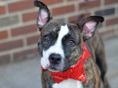 TO BE DESTROYED - 12/03/14 Brooklyn Center -P  My name is BUFFY. My Animal ID # is A1021133. I am a female br brindle and white am pit bull ter mix. The shelter thinks I am about 2 YEARS old.  I came in the shelter as a STRAY on 11/19/2014 from NY 10451, owner surrender reason stated was STRAY.