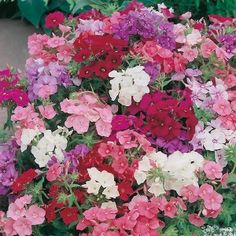 Phlox Brilliancy Mr Fothergill's Range Seed - Irish Plants Direct
