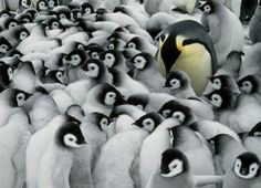 Nationalgeographic, animal photo, wildlife photography, Penguins