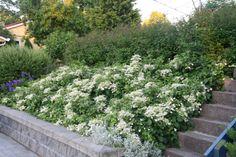 Klatrehortensia - kan plantes i skyggefulle skråninger