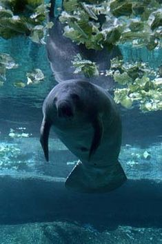 manatee belly :)