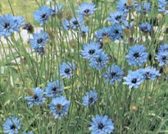 Tall blue flower for blue garden area. Aster means pat… Cupid's Dart, Aster. Tall blue flower for blue garden area. Aster means patience. Blue Flowers, Wild Flowers, Beautiful Flowers, Flowers Perennials, Planting Flowers, Flower Plants, Flower Gardening, Garden Seeds, Garden Plants