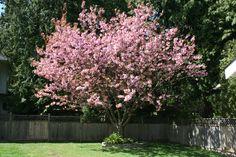 Cherry Tree in Bloom - Vancouver Springtime