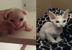 Devon Rex Lucy of Dandy Curls- at 2 weeks and 11 weeks Rex Cat, Devon Rex, Dandy, Curls, Animals, Animales, Animaux, Dandy Style, Animal