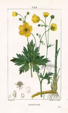 Buttercup. Turpin Botanical Prints 1815