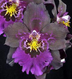 """Orchids; Miltonidium """"Golden Gate"""""""