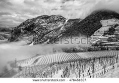 Unusual image of a wineyard in Trentino (Italy) during winter time. The vineyard is covered by fresh snow.