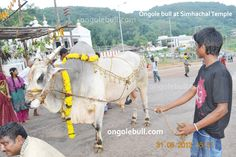 Ongole bull at simhachalam