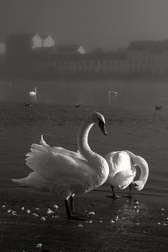 Mute Swans Galway Ireland Photograph  - Mute Swans Galway Ireland Fine Art Print