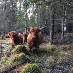 Highland Cattle Cow #highlandcattle ♥️