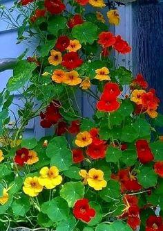Tropaeolum majus «capuchina» BENEFICIOS CUIDADOS REPRODUCCIÓN TRANSPLANTES Y USOS DEL TACO DE REINA  ¿Cuánto cuesta una capuchina ?   Si estás pensando en comprarsemillas o una plántula de taco de reina o quieres saber cuánto vale ... Taco, Plants, Gardens, Vestidos, Leaves, Succulents, Flower Names, Insect Repellent, Soil Type