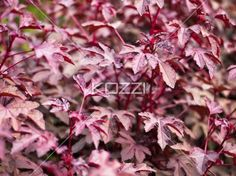 close-up image of autumn leaves. - Close-up shot of purple autumn leaves.