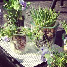 spring bulbs in weck jars