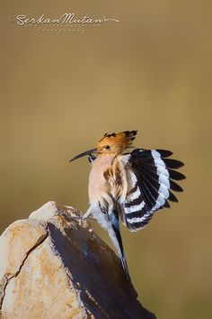 Hoopoe / Upupa epops Ankara / Turkey