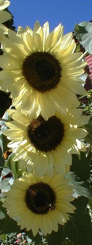 Three of a kind....these sunflowers are the most beautiful shade of yellow that I have ever seen~`~, (@