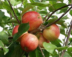 Malus domestica Sävstaholm, Sommarsort. Växt: ungträd kraftigtväxande, långa grenar. Skörd: tidig, riklig, regelbunden. Frukt: medelstor, gröngul, mogen frukt är ljus. Täckfärgen är ljust rödbrun. Frukten smakar bra med en lätt syrlig och saftig smak. Hållbarhetstid: 3-5 veckor. Bild: Taimistoviljelijät.