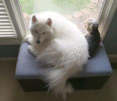 Samoyed and friend
